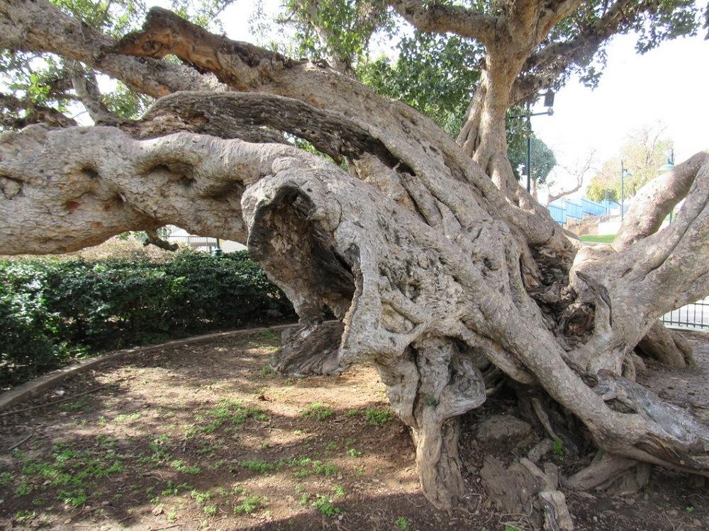 Древнее дерево сикимора