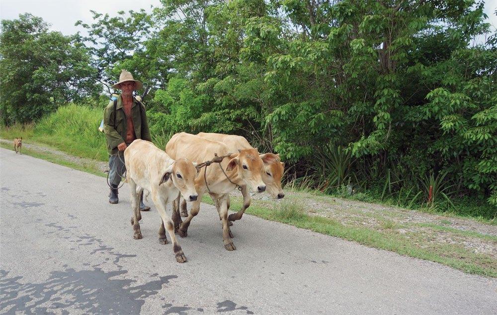 Коровы на Кубе