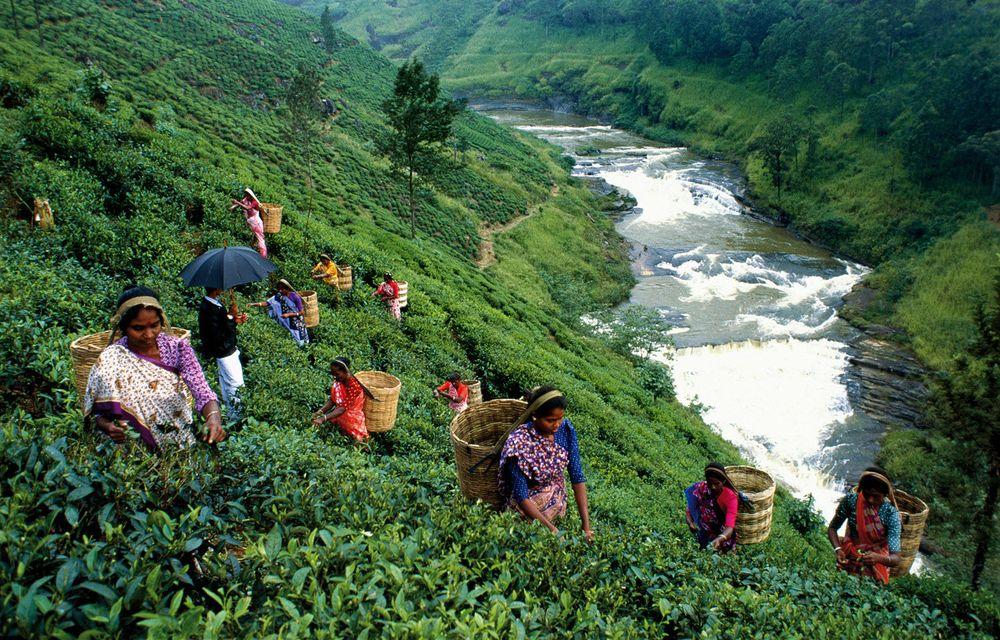 Цейлон чайные плантации