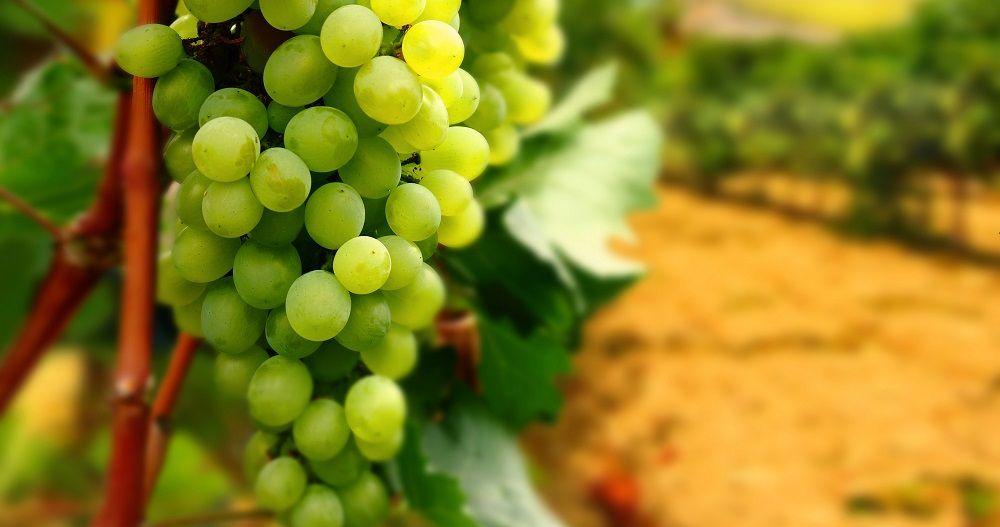 Виноград, Тоскана