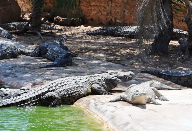 Крокодилий рай острова Джарба 3