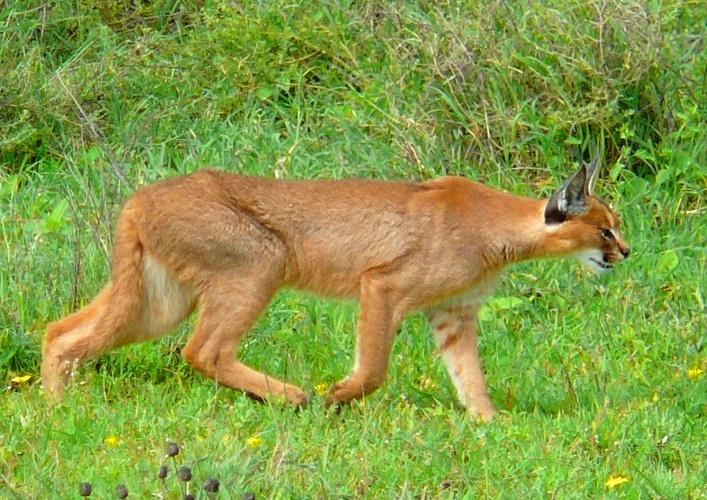 Steppe Lynx Karakal 2