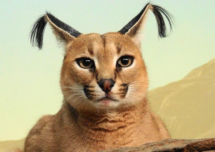 Steppe Lynx Karakal 3