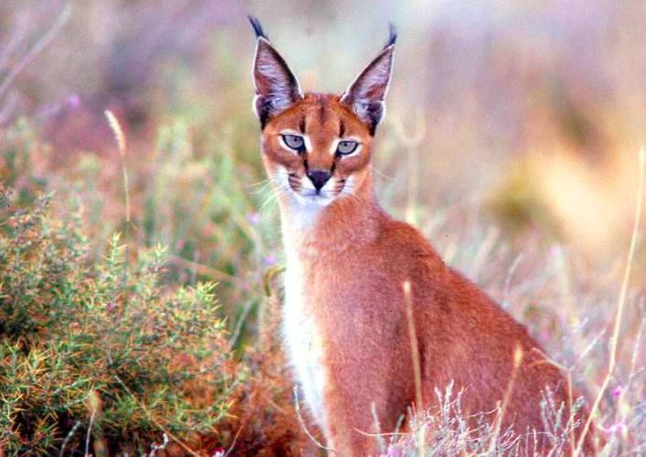 Steppe Lynx Karakal 4