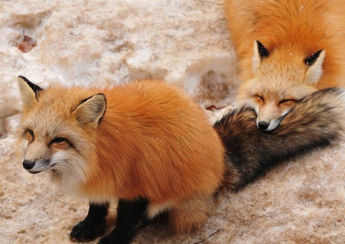 The village of foxes 2