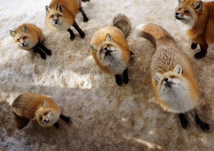 The village of foxes 3