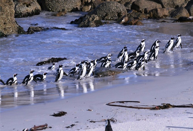 African penguins There are so 2