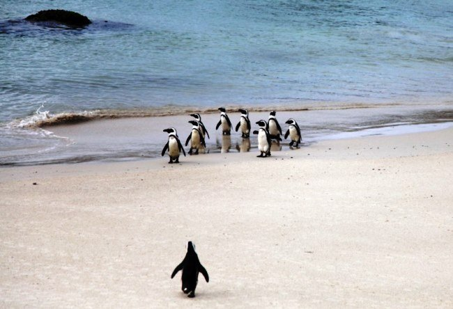 African penguins There are so 5
