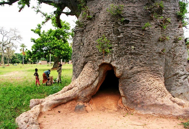 Funny and majestic Baobab 3