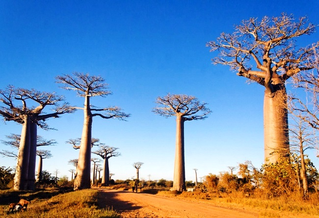 Funny and majestic Baobab 4