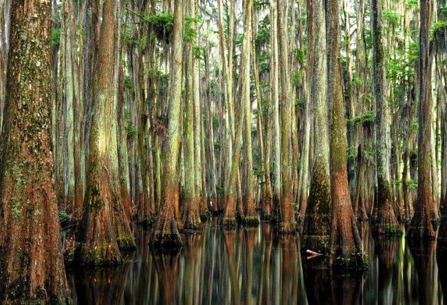 Кипарисовый лес в Техасе 4