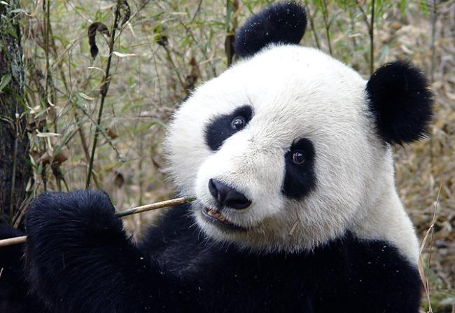 Заповедник для панды в первозданном Улун