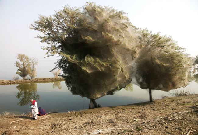 Нашествие пауков в Пакистане 5