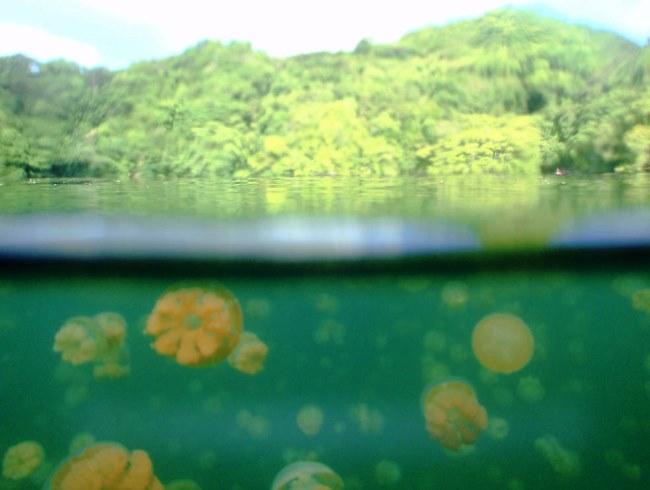 Озеро медуз в Палау 4