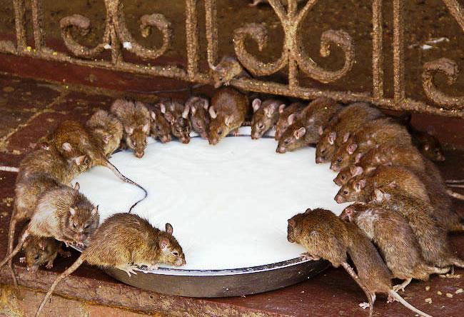 Храм Карни Мата в  Деншок обожествляющий крыс 3