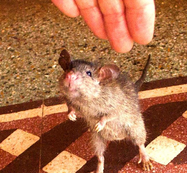 Храм Карни Мата в  Деншок обожествляющий крыс 4