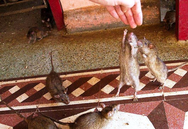 Храм Карни Мата в  Деншок обожествляющий крыс 5