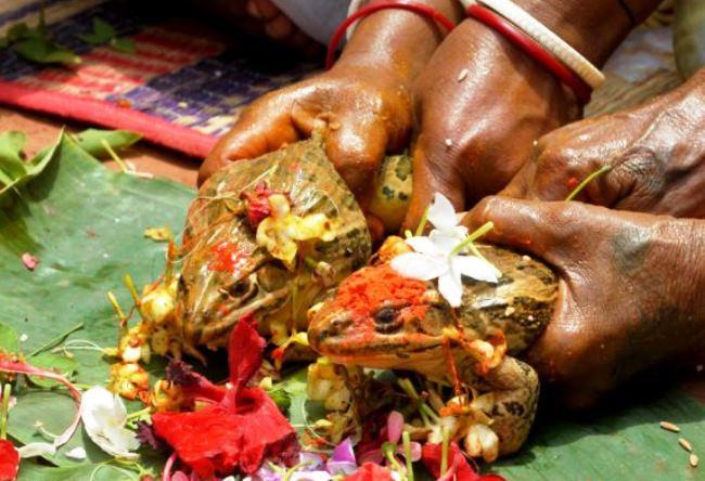 Индийские свадьбы лягушек 2