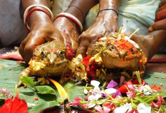 Индийские свадьбы лягушек 3