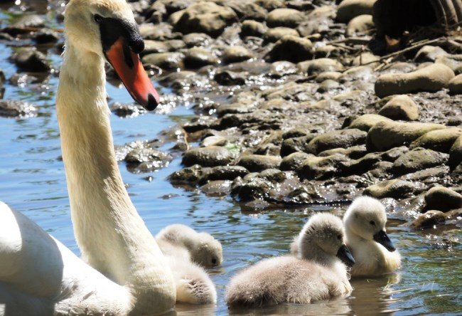 Лебеди английского Эбботсбери 3