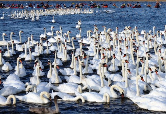 Лебеди английского Эбботсбери 4