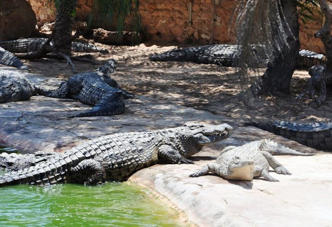 Crocodile paradise of the Djerba island 3