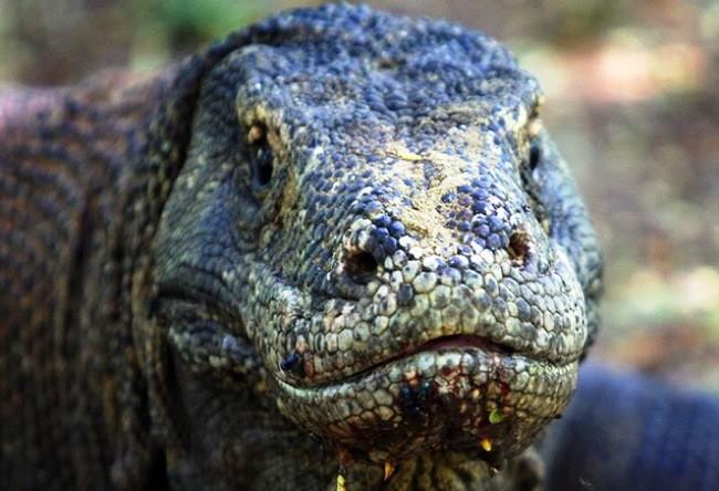 Living lizards Komodo 2