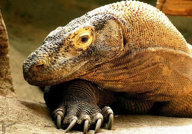 Living lizards Komodo 4