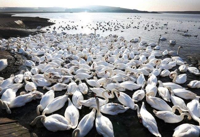 English Abbotsbury Swans 2