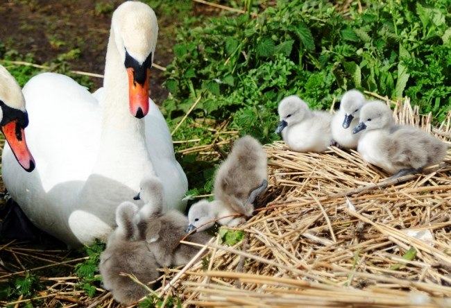 English Abbotsbury Swans 5