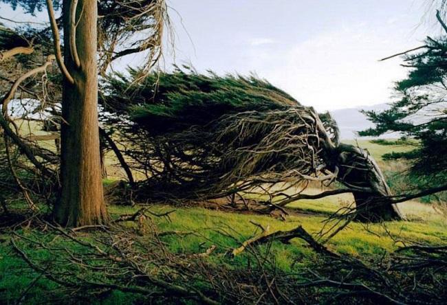 Необычные деревья в Новой Зеландии 21535.австр