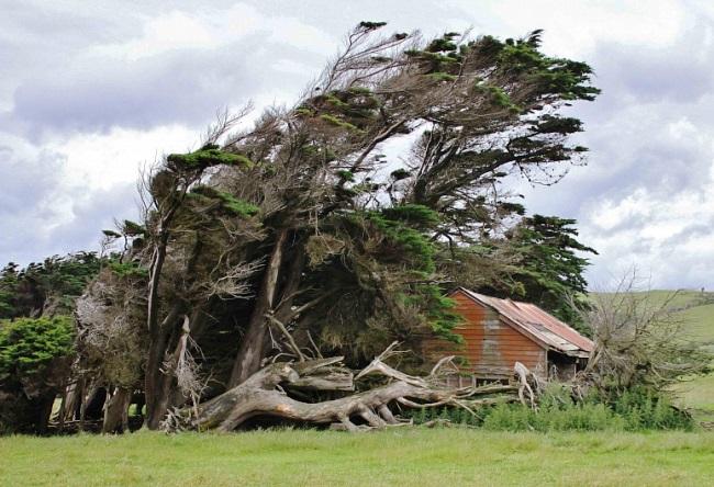 Необычные деревья в Новой Зеландии 31535.австр