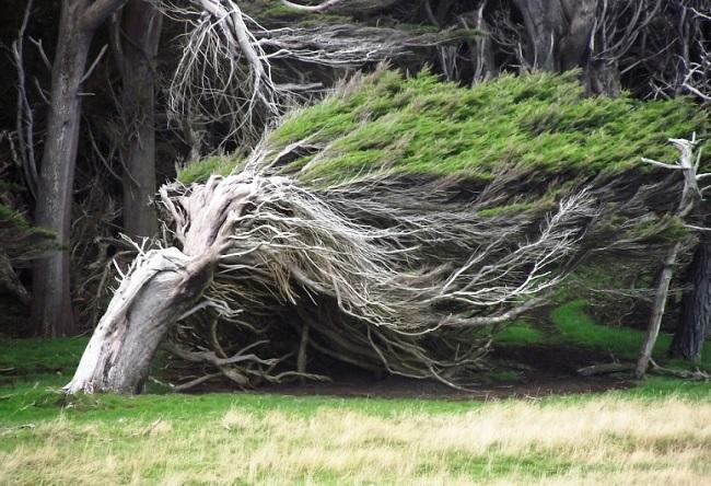 Необычные деревья в Новой Зеландии 51535.австр