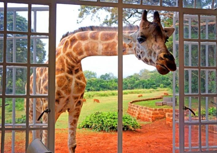 Завтрак с жирафами 4