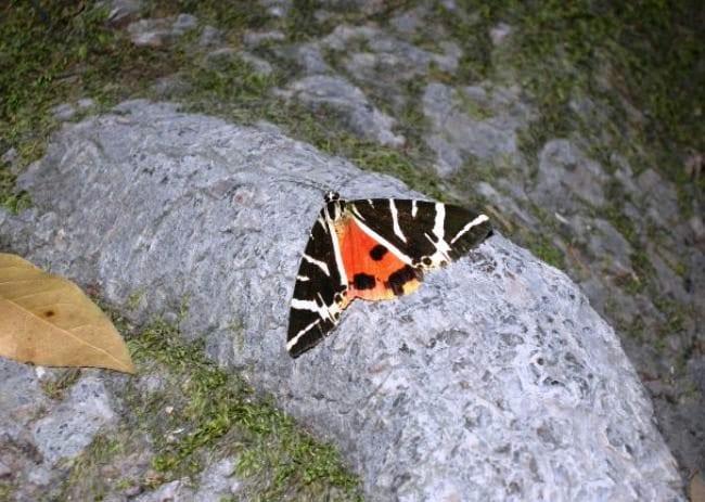 Долина бабочек, Петалудес