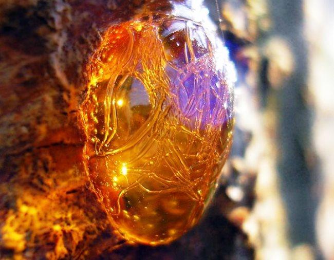 Янтарные слёзы - окаменевшая смола прибрежных сосен