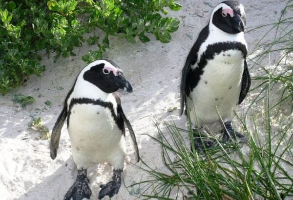 African penguins? – There are so