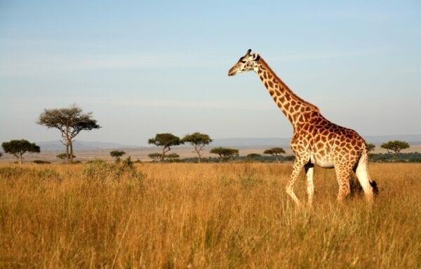 afrika-savanna-peizazh-priroda-pole-trava-derevia-solntse-ne