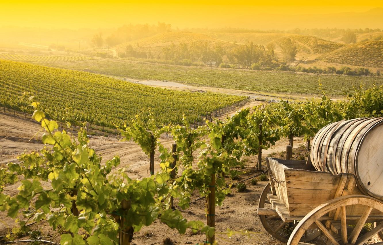 priroda-peizazh-grozdi-vinograda-vinogradnik
