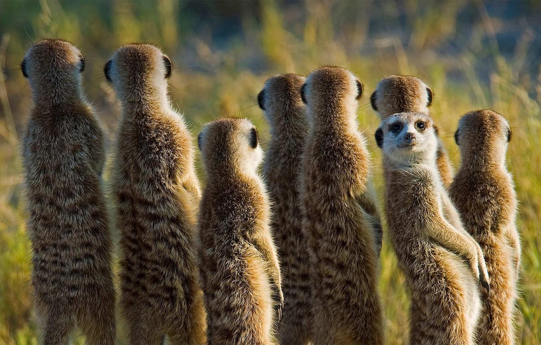 surikat-surikata-mlekopitaiushchee-afrika-botsvana