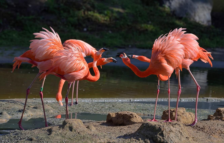 ptitsy-flamingo-rozovyi-flamingo-vodoem